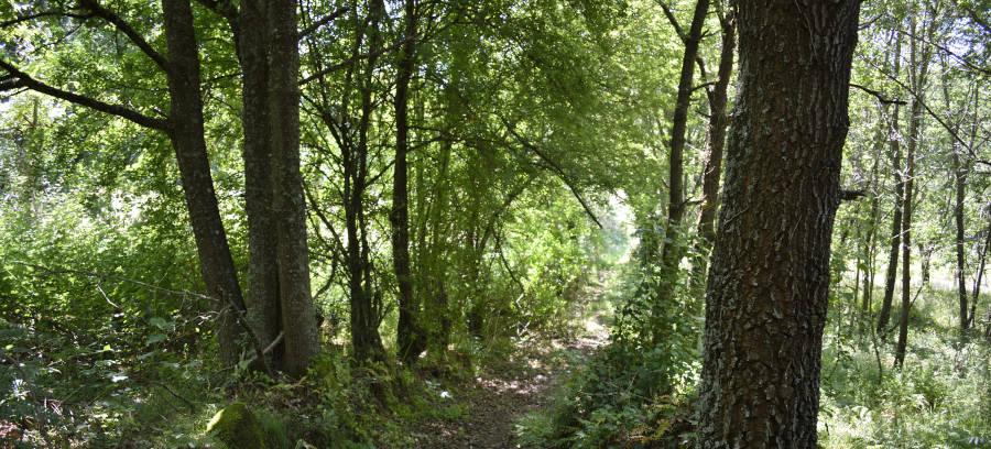 Camino rodeado de castaños y carballos, que protegen del sol en verano, en un bosque del Concello de A Bola (Ourense)
