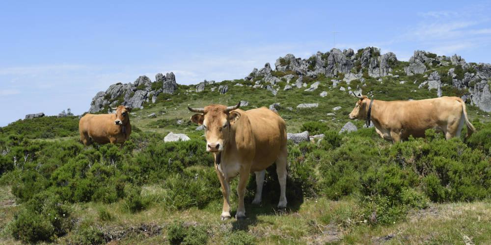 Vacas entre los pastos de la Serra de San Mamede